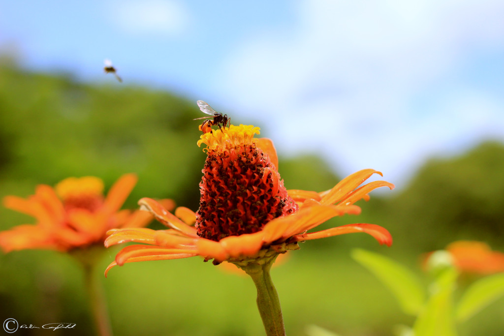Bees collecting pollen outside of León, Nicaragua.
